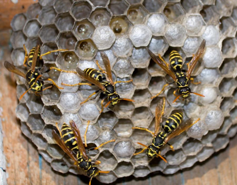Afbeeldingsresultaat voor wespennest
