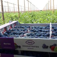 Blauwe bessen - Local Harvest