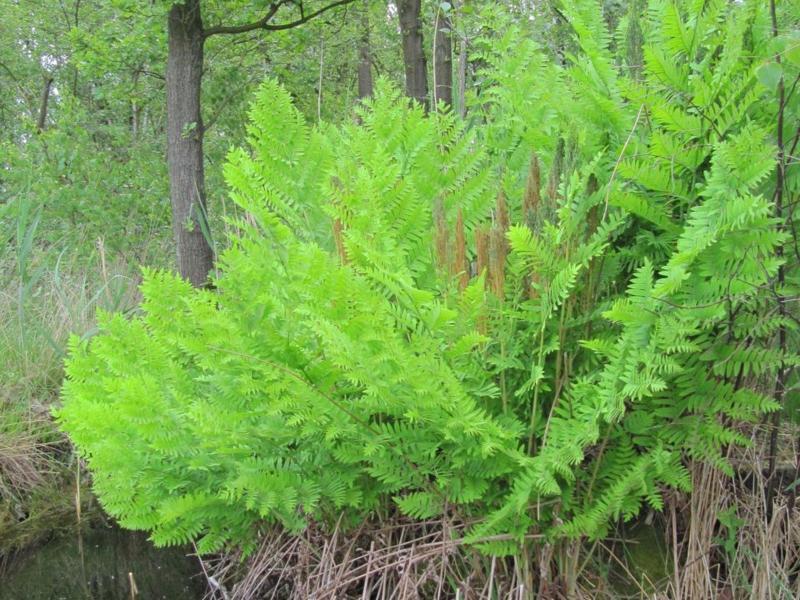 Cursus: Sporenplanten (Wortel) © Natuurpunt