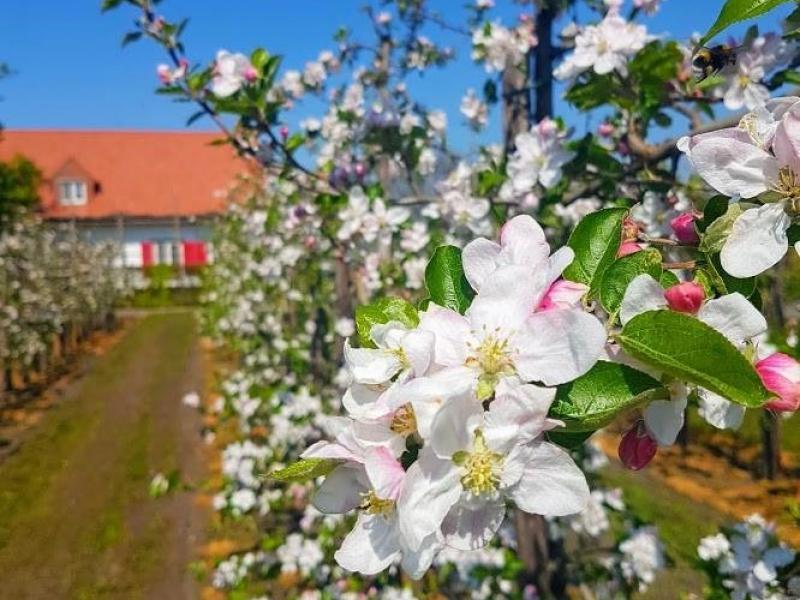 Appelbloesem © Fruitbedrijf Stoffels