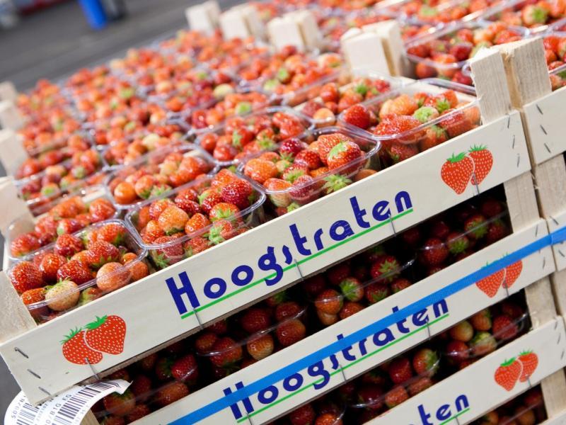 Aardbeien in de coöperatie Hoogstraten