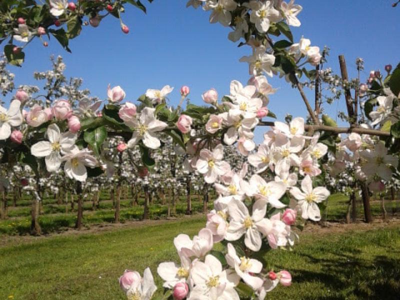 Bloesem in de appelboomgaard